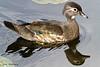 Female Wood Duck - Bass Lake, NC