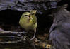 young Hooded Warbler