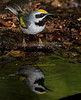 male Golden-winged Warbler