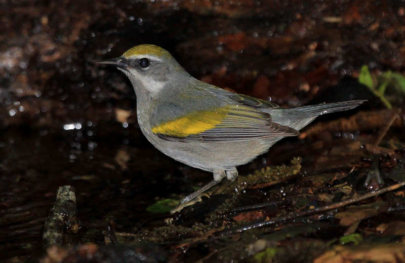 female Golden-winged Warbler