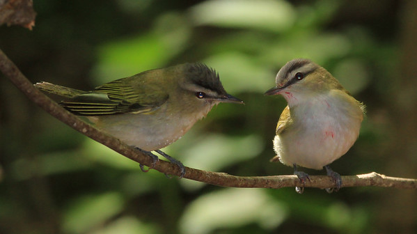 Red-eyed Vireos