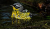 Magnolia Warbler bathing