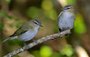 two Red-eyed Vireos