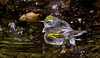 female Golden-winged Warbler in bath