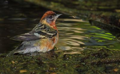 Bay-breasted Warbler