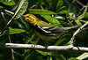 Black-throated Green Warbler, High Island tx. 4-20-09.