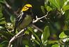 Black-throated Green Warbler, High Island, Tx. 4-20-09