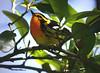 Blackburnian Warbler, High Island, Texas 4-20-09