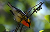 Blackburnian Warbler, High Island, Tx. 4-20-09