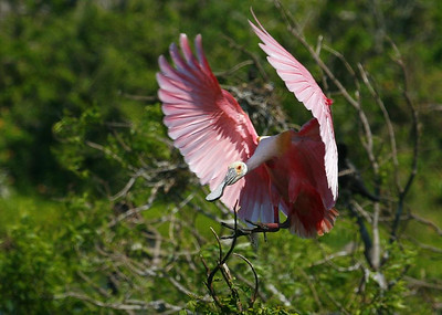 Roseate Spoonbill, High Island Rookery, 4-20-09.