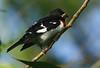 Rose-breasted Grosbeak, High Island, Tx 4-20-09.
