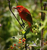 Summer Tanager at garden in Boy Scout Woods, High Island, Texas 4-20-09.