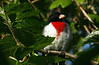 Rose-breasted Grosbeak, High Island 4-20-09.