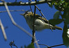 Red-eyed Vireo, High Island, Texas 4-20-09