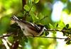 Chestnut-sided Warbler, High Island, Tx. 4-20-09
