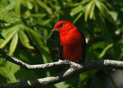 Scarlet Tanager, 4-20-09, High Island.