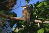 Yellow-billed Cuckoo, High Island, Tx 4-20-09.