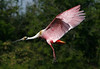 Roseate Spoonbill in slowdown, High Island rookery, 4-20-09