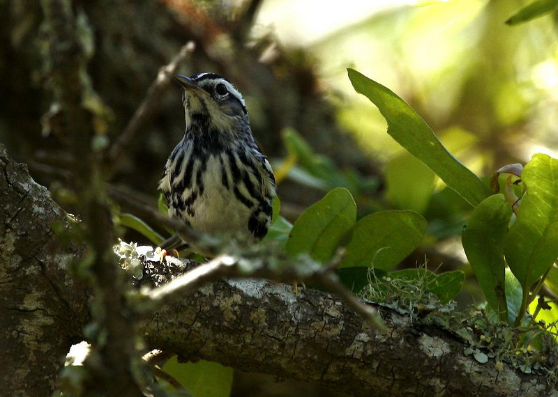 Black and white Warbler, High Island, Tex. 4-20-09