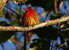 Summer Tanager, High Island, Tex. 4-20-09. The sun had barely come up, and this was the first keeper photo of a bountiful day of photography with friend Wayne Wendel. The sheer volume and variety of colorful birds that day will long be remembered.
