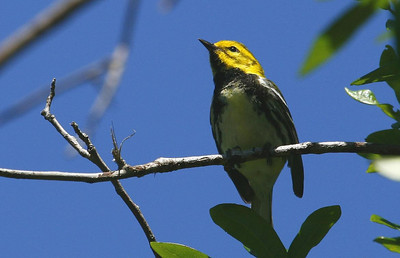 Black-throated Green Warbler, High Island, Texas 4-20-09
