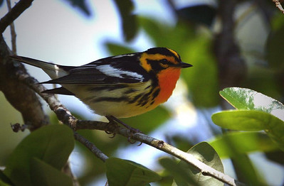 Blackburnian Warbler, High Island Boy Scout Woods sanctuary, Texas 4-20-09. This fast-moving Warbler stayed within 15 feet of us in low branches for so long (15-20 minutes) we finally got all the photos we wanted and walked off! It is a beautiful bird that is just as stunning in person.