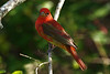 Summer Tanager, High Island, Tx 4-20-09.