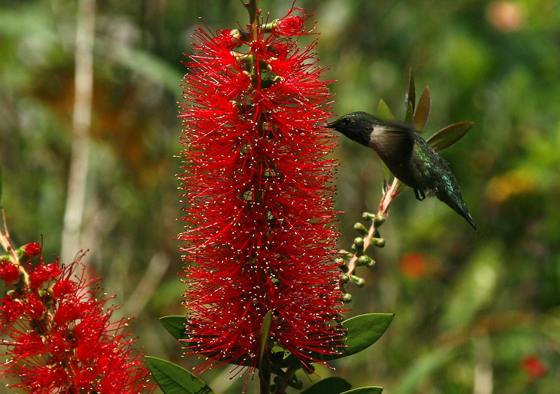 Ruby-throated Hummingbird at a Bottlebrush. High Island, 4-20-09. It is amazing a bird this small can store enough energy to fly across the Gulf of Mexico for two days nonstop, braving the winds and elements. When they reach High Island they are much thinner than normal having lost up to half their body weight.