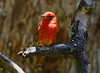 Summer Tanager, High Island, Texas 4-20-09