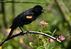 Red-winged Blackbird, Quintana Sanctuary. 4-13-09. Blackbirds are hard to photograph because the body is so jet black it absorbs most of the light. Direct sunlight from behind the camera is the best way to pick up the sheen and see the details of the feathers.