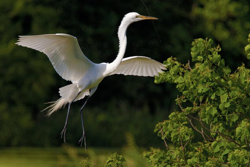 Great White Egret Stick For Nest