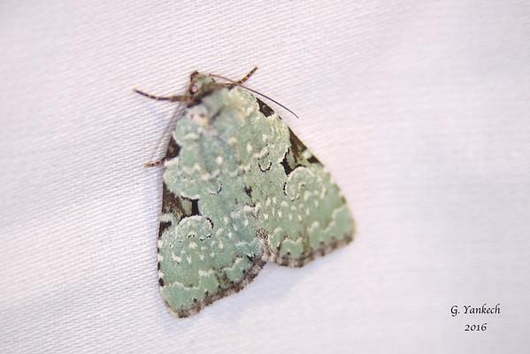 Green Leuconycta,  Leuconycta diphteroides