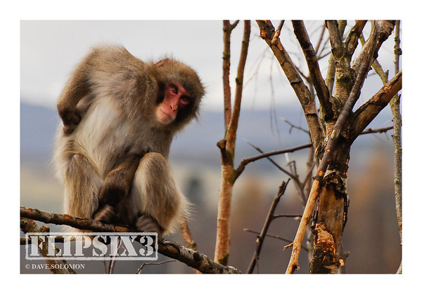 Japanese Macaque, also known as Snow Monkeys