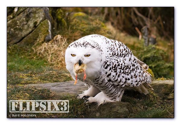 Snowy Owl feeding