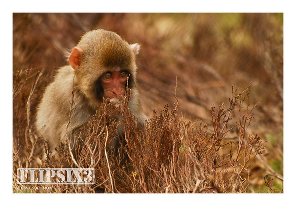 Young Snow Monkey