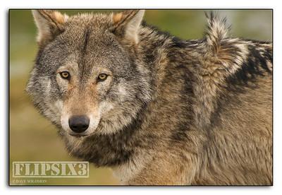 Yokel Wolf?