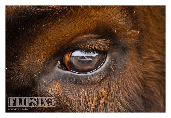 Watching Me, Watching You (European Bison)