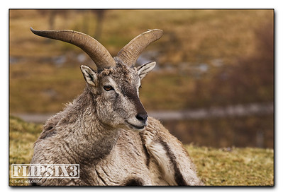 Bharal (Himalayan Sheep)
