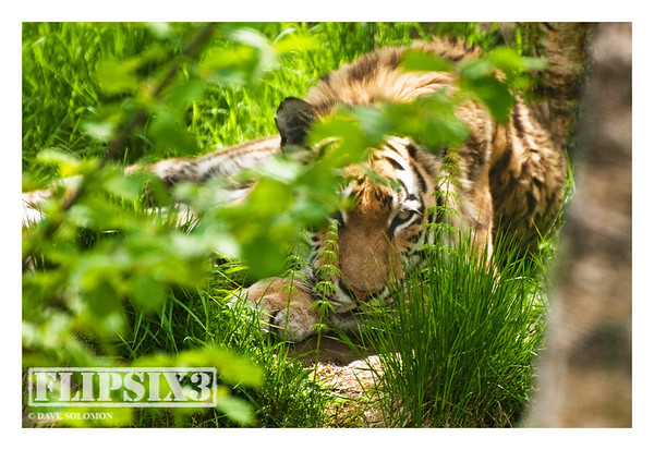 The Amur Tigers enjoy a sizeable enclosure, and one that it's possible to get some great 'natural habitat' looking shots from