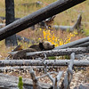 Grizzly bear sow taking a nap on a fallen log.  Yellowstone National Park, Wyoming, USA