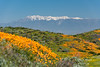 Snow-capped mountains loom behind fields of California poppies and Arroyo lupine.  Diamond Valley Lake, Southern California.