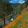 California Poppies line a river canyon
