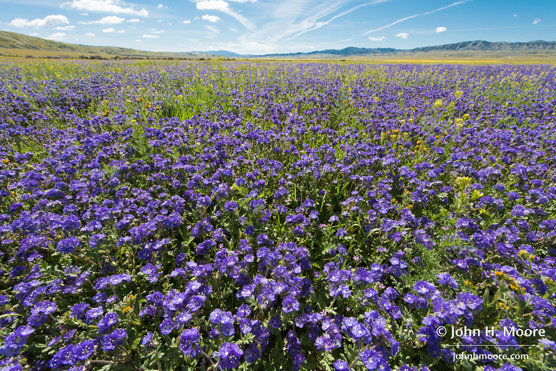 A field of purple flowers in Carrizo Plain National Monument