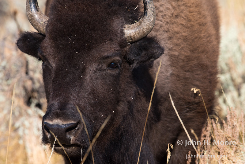 Portrait of a bison.  Grand Teton National Park, Wyoming, USA