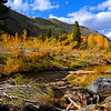 A knocked-down stand of aspens still grows leaves, which have turned color for fall high in the Eastern Sierras