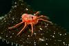 A tuna crab (Pleuroncodes planipes) rests on a kelp frond in La Jolla Submarine Canyon.  La Jolla, California, USA.