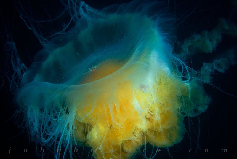 Fried Egg Jellyfish