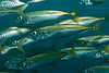 A school of Jack Mackerel (Trachurus symmetricus) off the coast of La Jolla, California, USA.