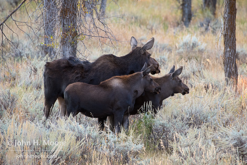 Moose and two calves near the Gros Ventre River in Grand Teton National Park, Wyoming, USA