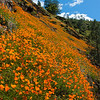 A field of California Poppies lines a steep river canyon